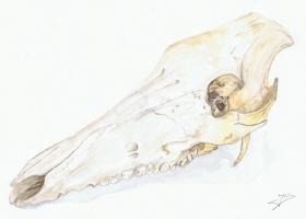 Wildschweinschädel